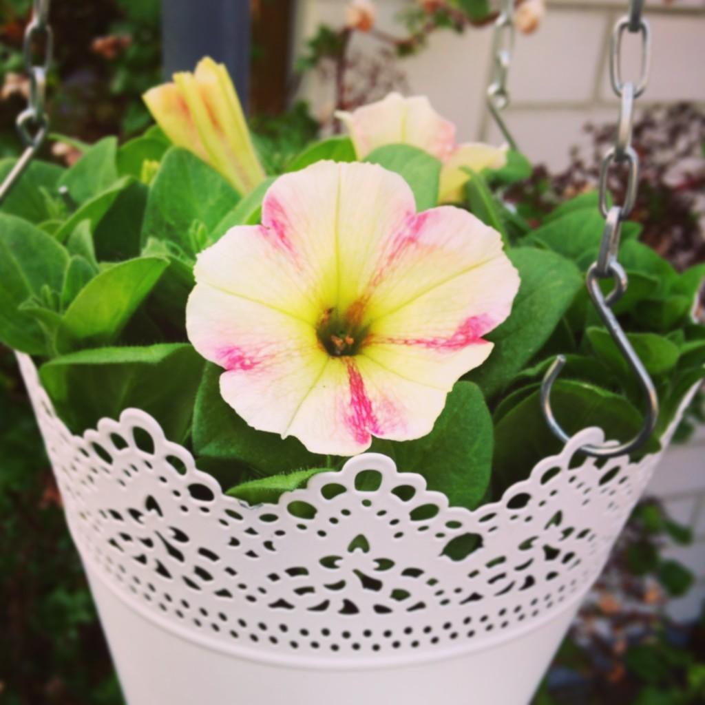 Pretty-Petunia